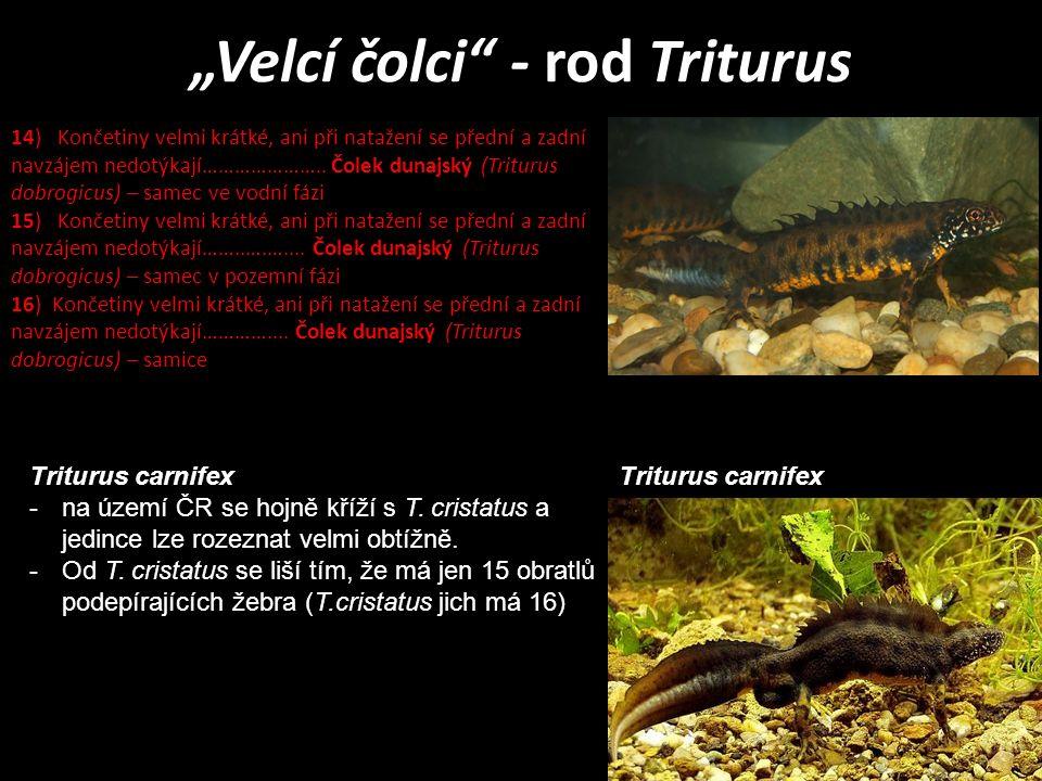 """""""Velcí čolci"""" - rod Triturus 14) Končetiny velmi krátké, ani při natažení se přední a zadní navzájem nedotýkají………………….. Čolek dunajský (Triturus dobr"""