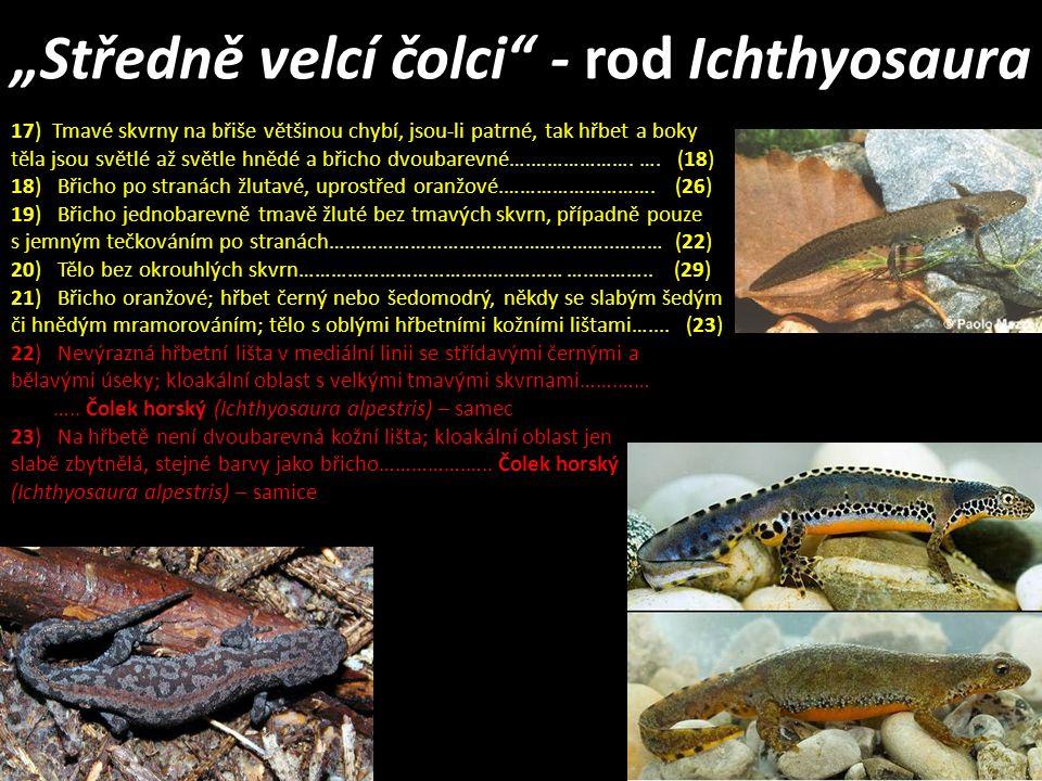 """""""Středně velcí čolci"""" - rod Ichthyosaura 17) Tmavé skvrny na břiše většinou chybí, jsou-li patrné, tak hřbet a boky těla jsou světlé až světle hnědé a"""