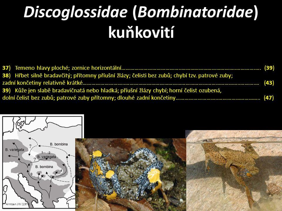 Discoglossidae (Bombinatoridae) kuňkovití Arntzen JW (1978) 37) Temeno hlavy ploché; zornice horizontální…………………………………..………………………………..………….…. (39) 38)