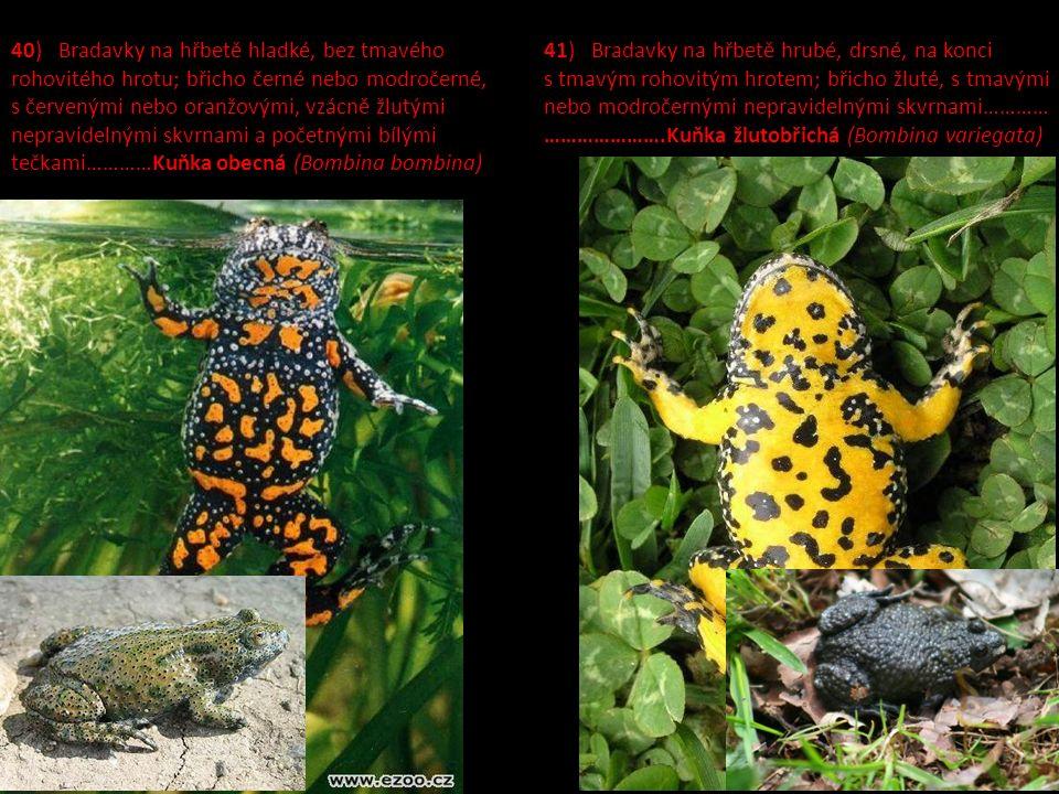 40) Bradavky na hřbetě hladké, bez tmavého rohovitého hrotu; břicho černé nebo modročerné, s červenými nebo oranžovými, vzácně žlutými nepravidelnými