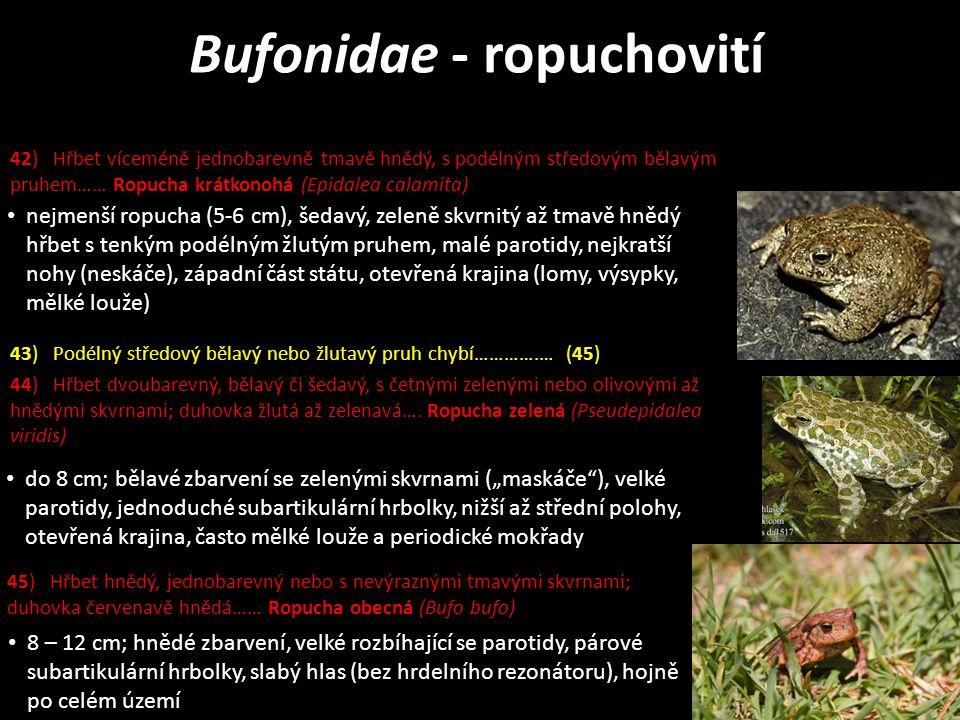 """do 8 cm; bělavé zbarvení se zelenými skvrnami (""""maskáče ), velké parotidy, jednoduché subartikulární hrbolky, nižší až střední polohy, otevřená krajina, často mělké louže a periodické mokřady nejmenší ropucha (5-6 cm), šedavý, zeleně skvrnitý až tmavě hnědý hřbet s tenkým podélným žlutým pruhem, malé parotidy, nejkratší nohy (neskáče), západní část státu, otevřená krajina (lomy, výsypky, mělké louže) 8 – 12 cm; hnědé zbarvení, velké rozbíhající se parotidy, párové subartikulární hrbolky, slabý hlas (bez hrdelního rezonátoru), hojně po celém území 42) Hřbet víceméně jednobarevně tmavě hnědý, s podélným středovým bělavým pruhem…… Ropucha krátkonohá (Epidalea calamita) 45) Hřbet hnědý, jednobarevný nebo s nevýraznými tmavými skvrnami; duhovka červenavě hnědá…… Ropucha obecná (Bufo bufo) 44) Hřbet dvoubarevný, bělavý či šedavý, s četnými zelenými nebo olivovými až hnědými skvrnami; duhovka žlutá až zelenavá…."""