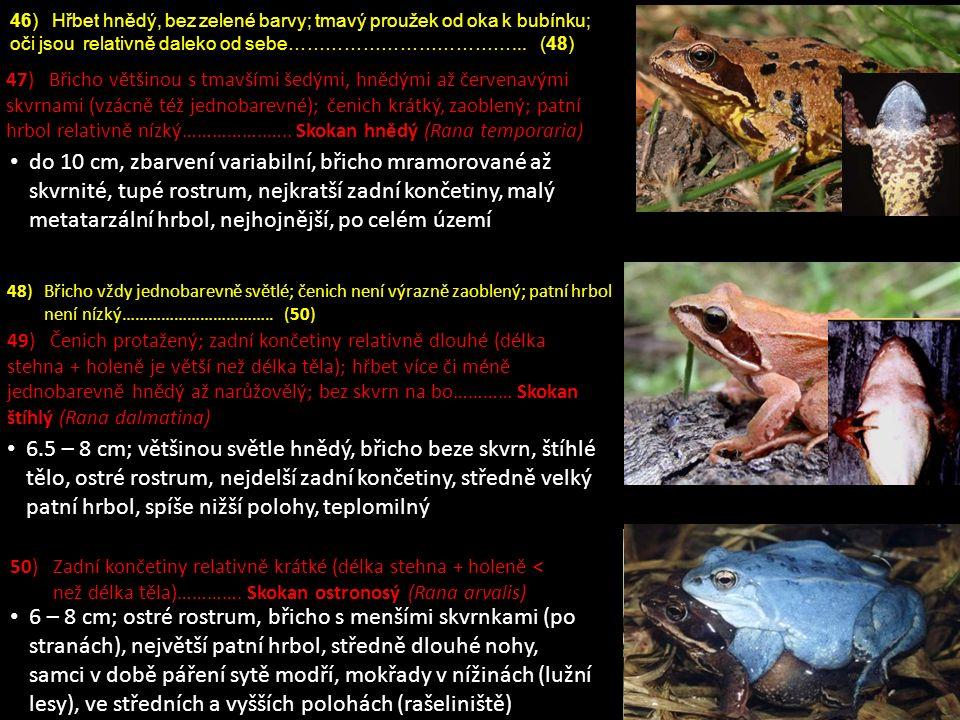 do 10 cm, zbarvení variabilní, břicho mramorované až skvrnité, tupé rostrum, nejkratší zadní končetiny, malý metatarzální hrbol, nejhojnější, po celém území 6 – 8 cm; ostré rostrum, břicho s menšími skvrnkami (po stranách), největší patní hrbol, středně dlouhé nohy, samci v době páření sytě modří, mokřady v nížinách (lužní lesy), ve středních a vyšších polohách (rašeliniště) 6.5 – 8 cm; většinou světle hnědý, břicho beze skvrn, štíhlé tělo, ostré rostrum, nejdelší zadní končetiny, středně velký patní hrbol, spíše nižší polohy, teplomilný 50) Zadní končetiny relativně krátké (délka stehna + holeně < než délka těla)………….