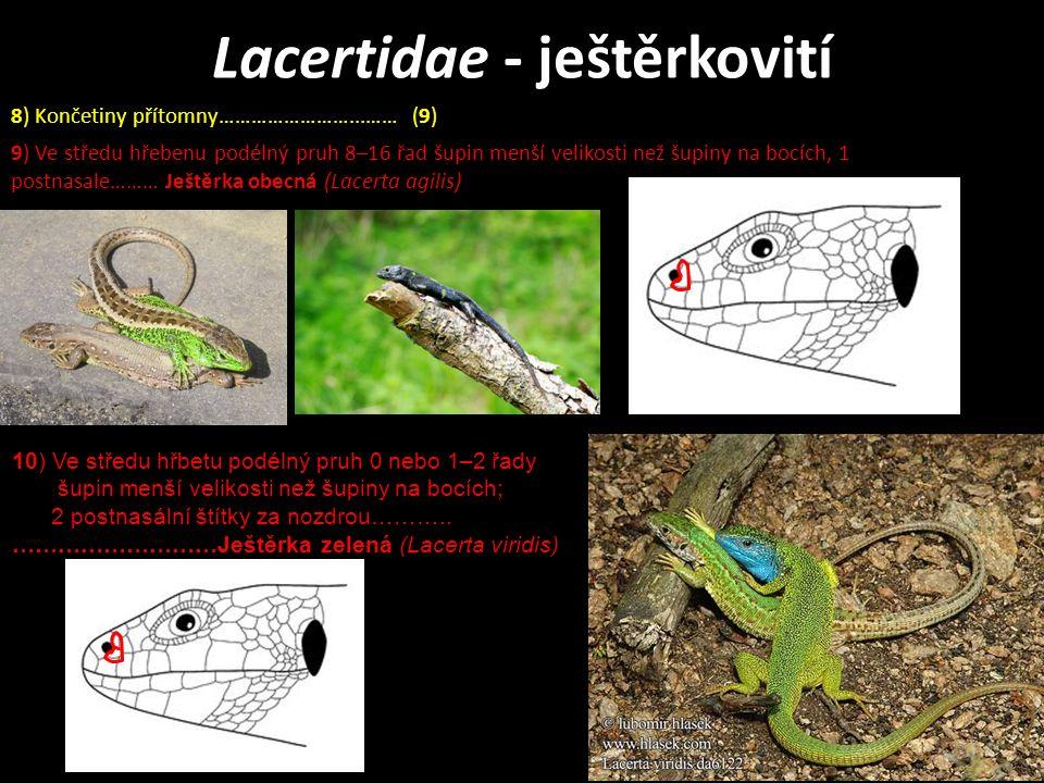 Lacertidae - ještěrkovití 9) Ve středu hřebenu podélný pruh 8–16 řad šupin menší velikosti než šupiny na bocích, 1 postnasale……… Ještěrka obecná (Lacerta agilis) 8) Končetiny přítomny……………………...…… (9) 10) Ve středu hřbetu podélný pruh 0 nebo 1–2 řady šupin menší velikosti než šupiny na bocích; 2 postnasální štítky za nozdrou………..