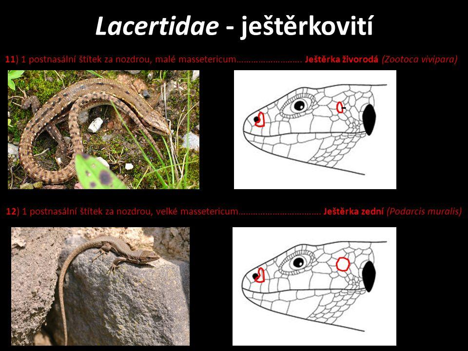 Lacertidae - ještěrkovití 11) 1 postnasální štítek za nozdrou, malé massetericum………………..…….