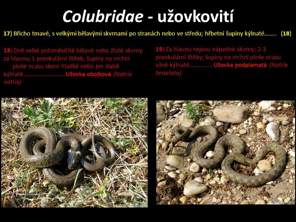 Colubridae - užovkovití 18) Dvě velké poloměsíčité bělavé nebo žluté skvrny za hlavou; 1 preokulární štítek; šupiny na vrchní ploše ocasu skoro hladké