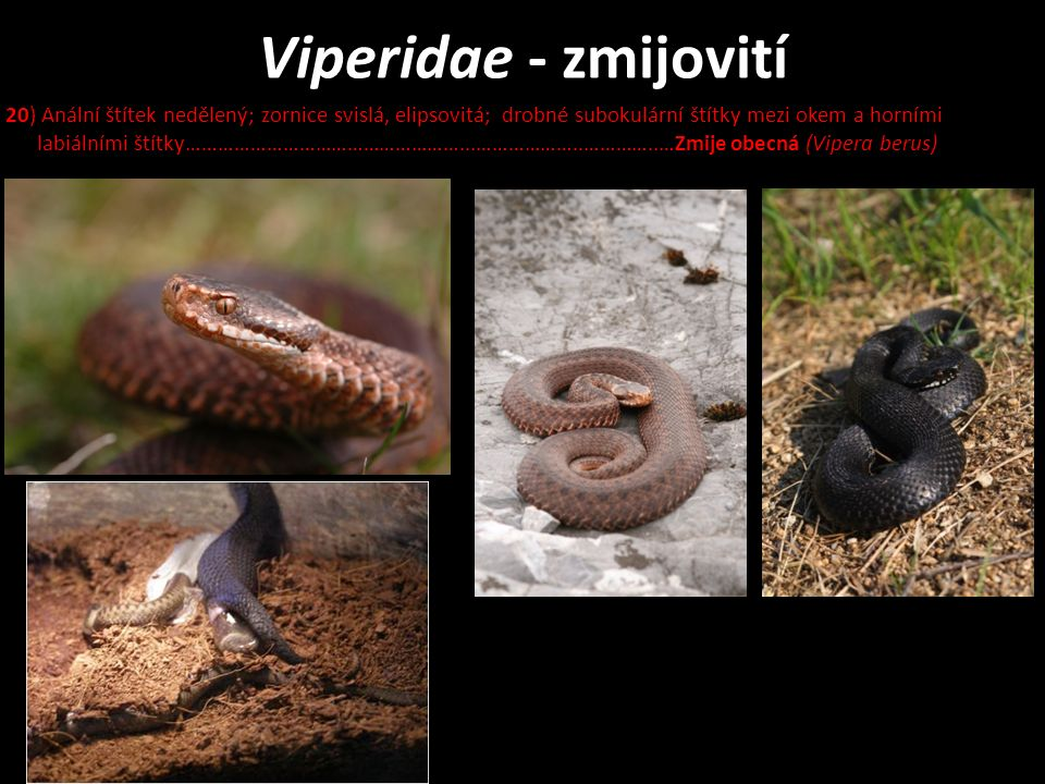 Viperidae - zmijovití 20) Anální štítek nedělený; zornice svislá, elipsovitá; drobné subokulární štítky mezi okem a horními labiálními štítky……………………………………………...………………..…………..…Zmije obecná (Vipera berus)