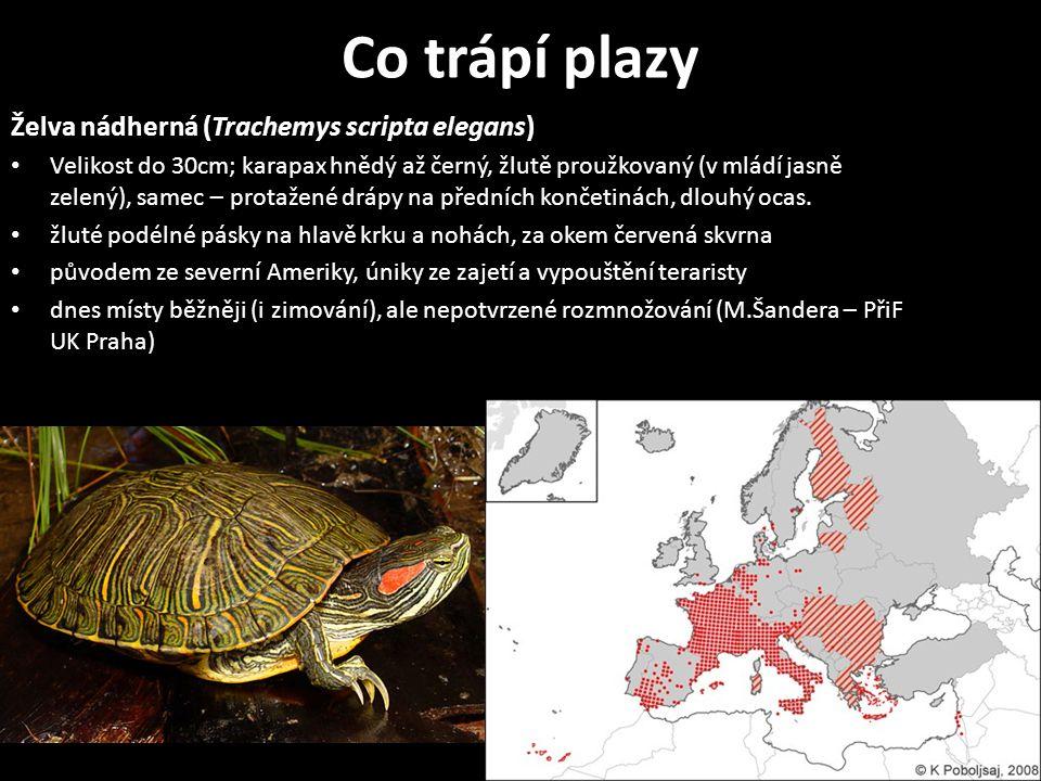 Co trápí plazy Želva nádherná (Trachemys scripta elegans) Velikost do 30cm; karapax hnědý až černý, žlutě proužkovaný (v mládí jasně zelený), samec –