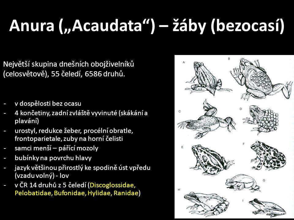 """Anura (""""Acaudata ) – žáby (bezocasí) -v dospělosti bez ocasu -4 končetiny, zadní zvláště vyvinuté (skákání a plavání) -urostyl, redukce žeber, procélní obratle, frontoparietale, zuby na horní čelisti -samci menší – pářící mozoly -bubínky na povrchu hlavy -jazyk většinou přirostlý ke spodině úst vpředu (vzadu volný) - lov -v ČR 14 druhů z 5 čeledí (Discoglossidae, Pelobatidae, Bufonidae, Hylidae, Ranidae) Největší skupina dnešních obojživelníků (celosvětově), 55 čeledí, 6586 druhů."""