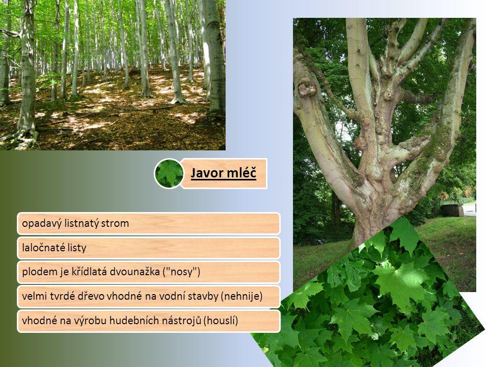 Javor mléč opadavý listnatý stromlaločnaté listyplodem je křídlatá dvounažka ( nosy )velmi tvrdé dřevo vhodné na vodní stavby (nehnije)vhodné na výrobu hudebních nástrojů (houslí)