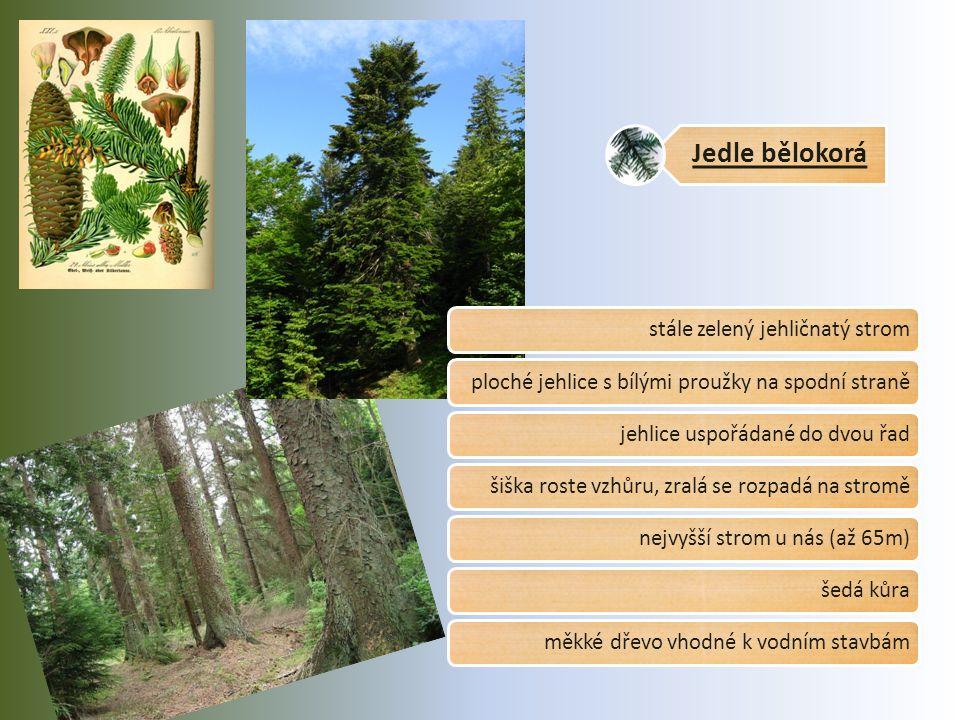 Jedle bělokorá stále zelený jehličnatý stromploché jehlice s bílými proužky na spodní stranějehlice uspořádané do dvou řadšiška roste vzhůru, zralá se rozpadá na stroměnejvyšší strom u nás (až 65m)šedá kůraměkké dřevo vhodné k vodním stavbám