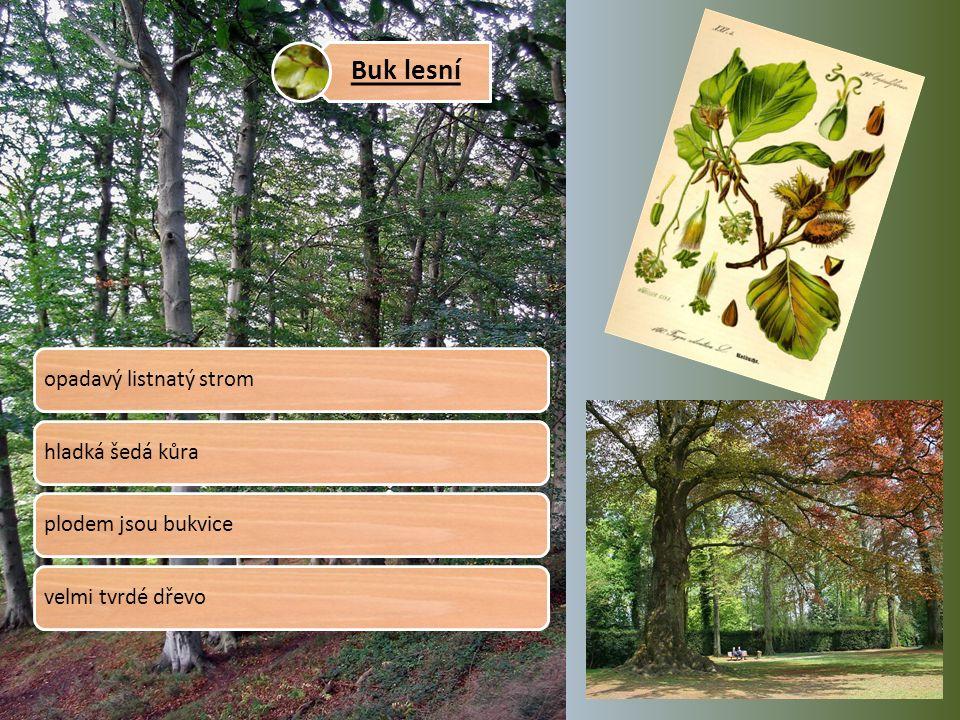 Buk lesní opadavý listnatý stromhladká šedá kůraplodem jsou bukvicevelmi tvrdé dřevo