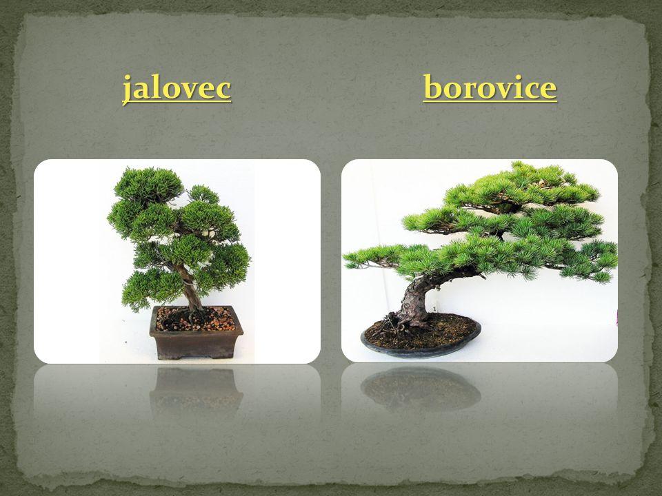 jalovec borovice