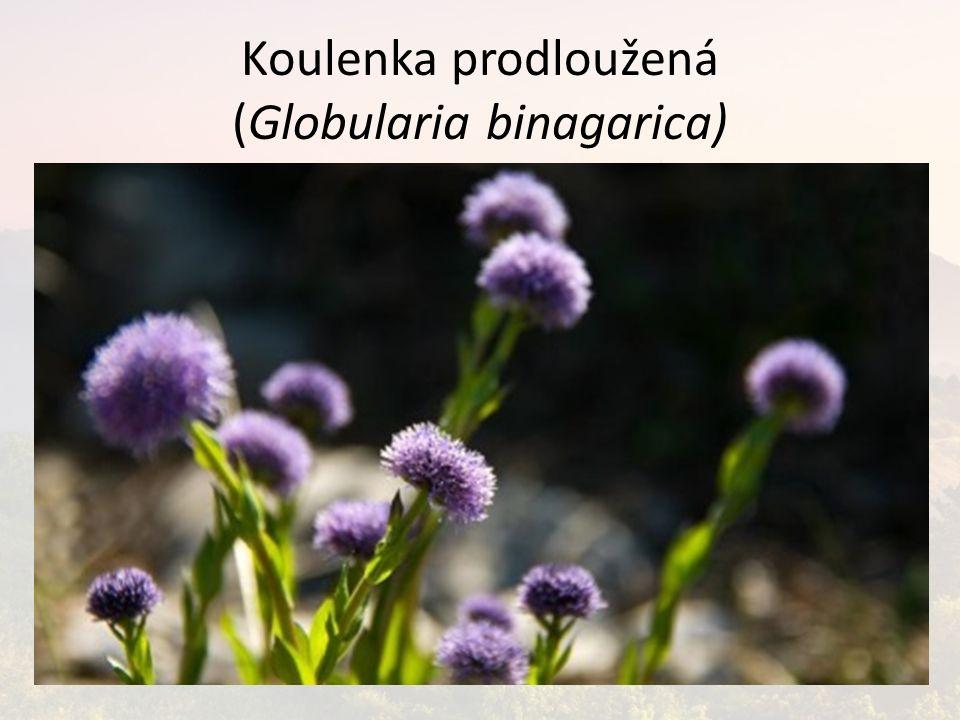 Koulenka prodloužená (Globularia binagarica)