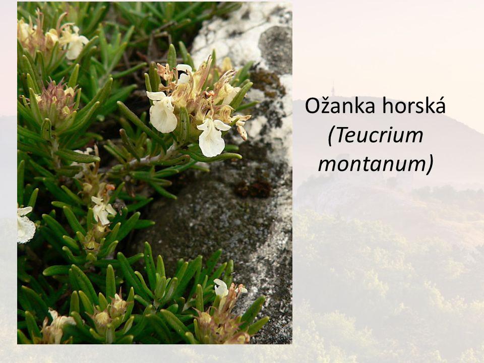 Ožanka horská (Teucrium montanum)