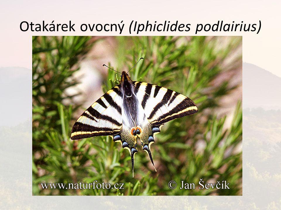 Otakárek ovocný (Iphiclides podlairius)