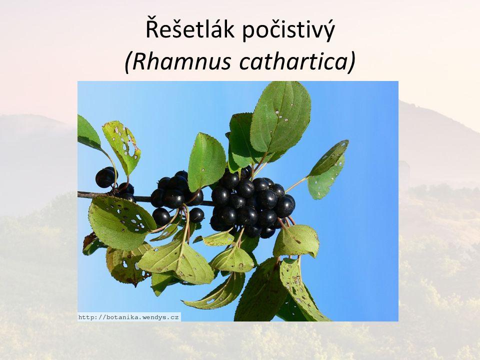 Řešetlák počistivý (Rhamnus cathartica)