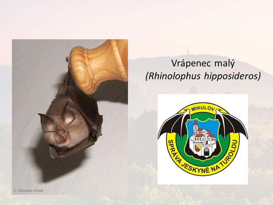 Vrápenec malý (Rhinolophus hipposideros)