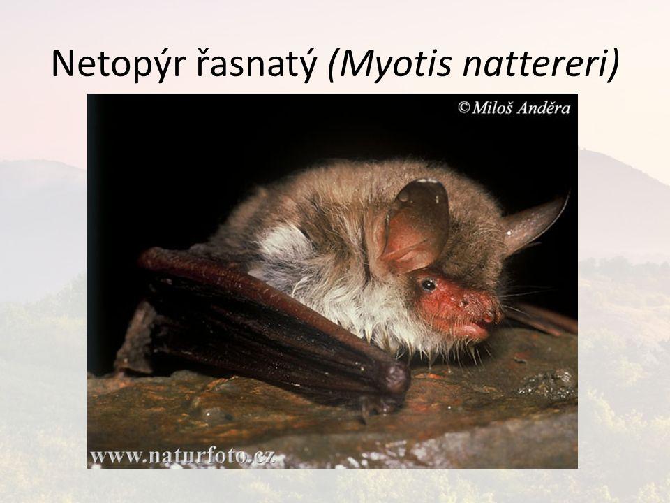 Netopýr řasnatý (Myotis nattereri)