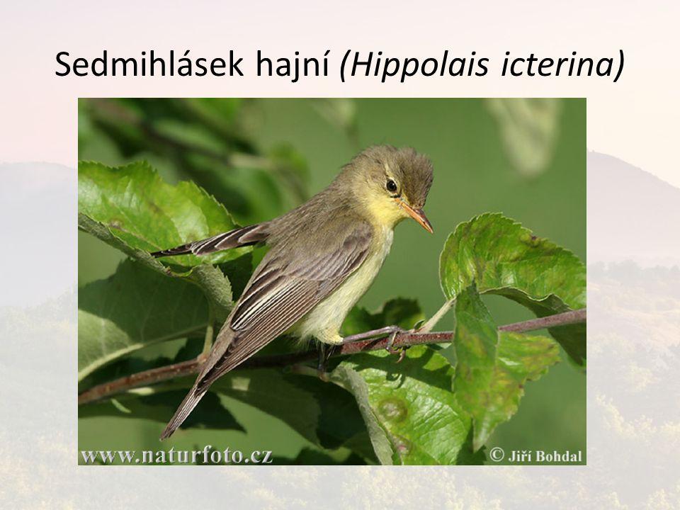 Sedmihlásek hajní (Hippolais icterina)