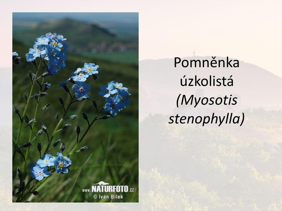 Pomněnka úzkolistá (Myosotis stenophylla)