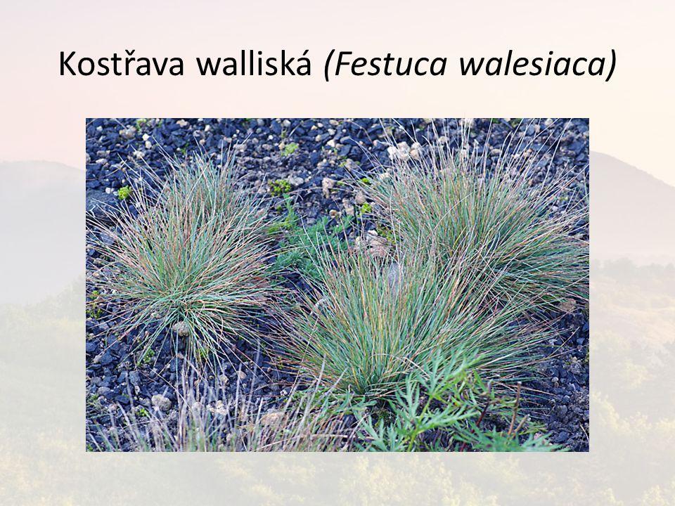 Kostřava walliská (Festuca walesiaca)
