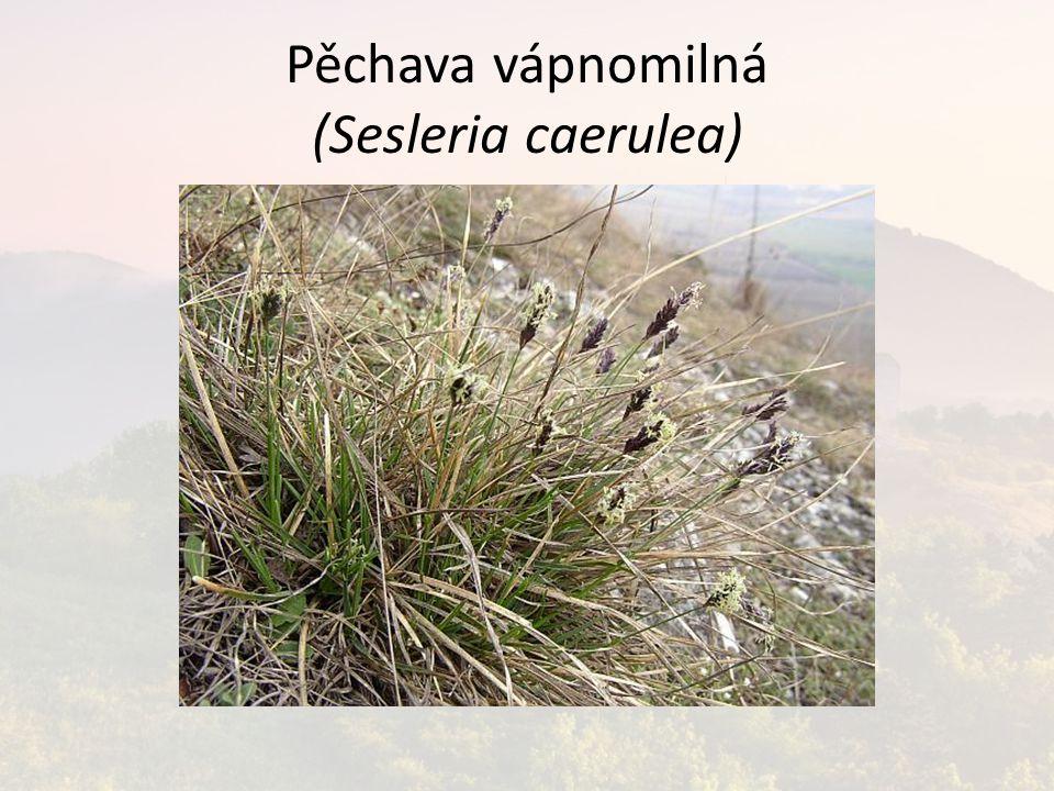 Pěchava vápnomilná (Sesleria caerulea)