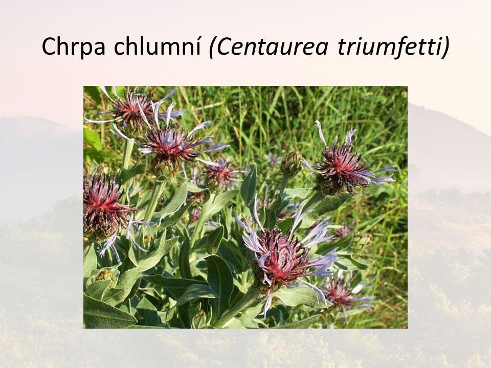 Chrpa chlumní (Centaurea triumfetti)