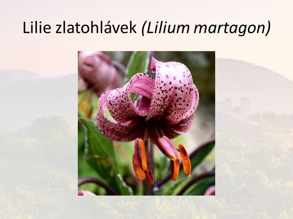 Lilie zlatohlávek (Lilium martagon)