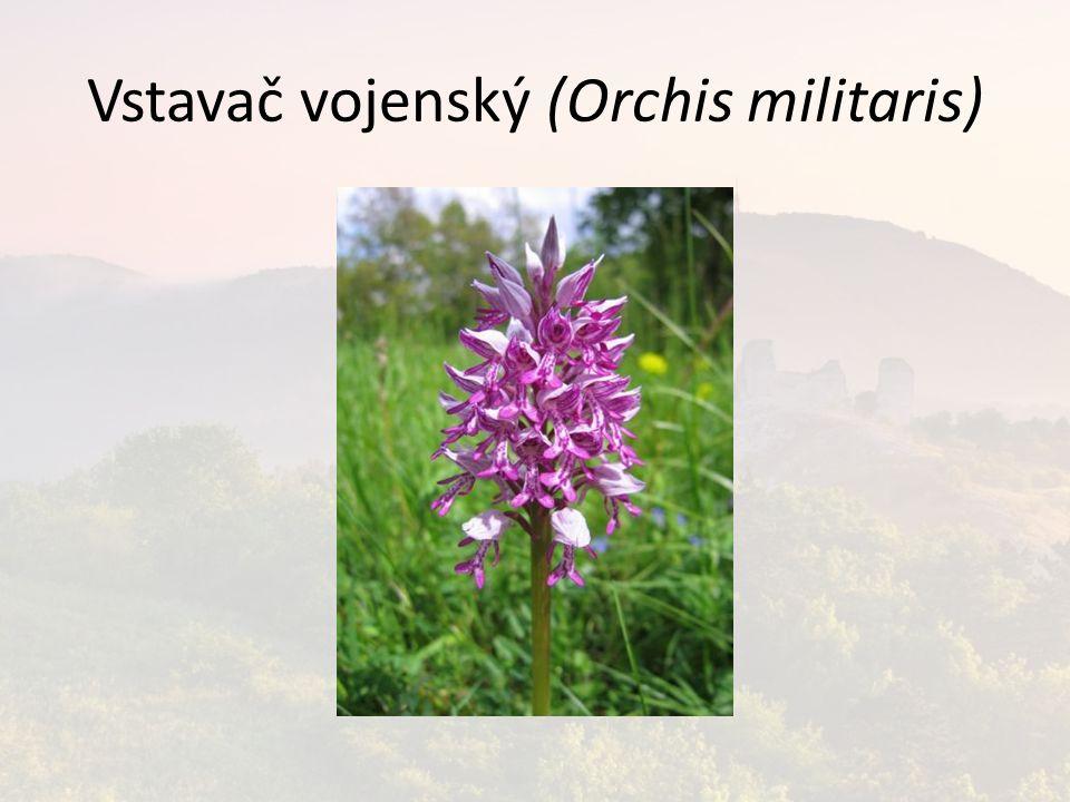 Vstavač vojenský (Orchis militaris)