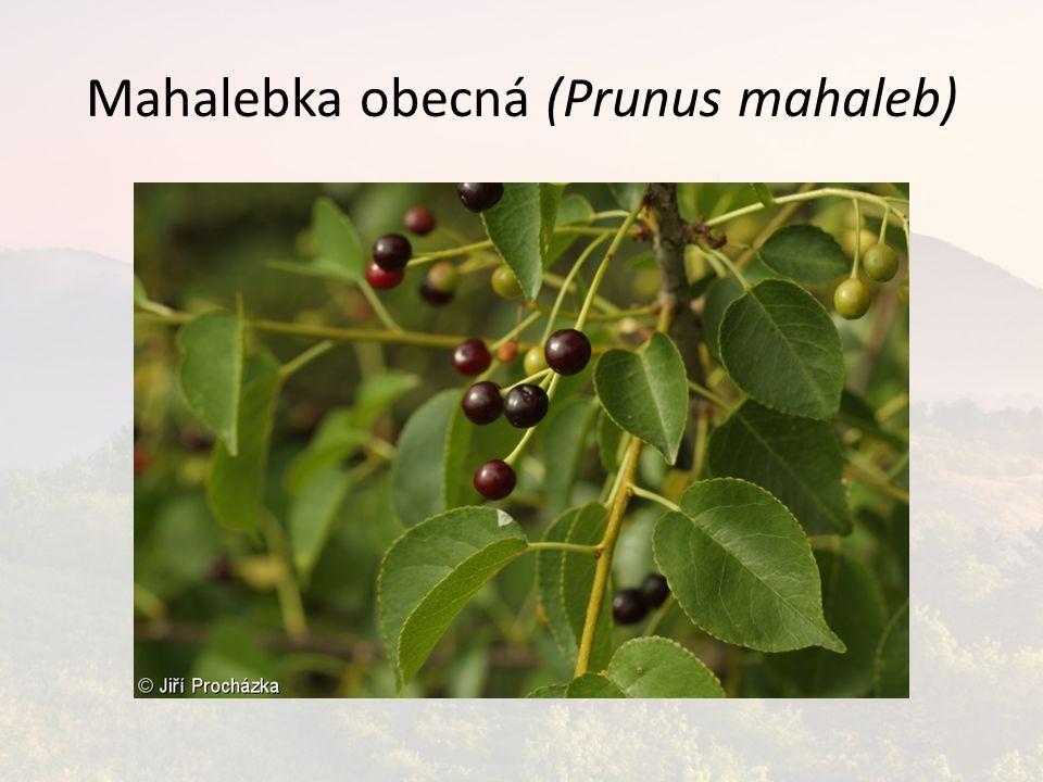 Mahalebka obecná (Prunus mahaleb)
