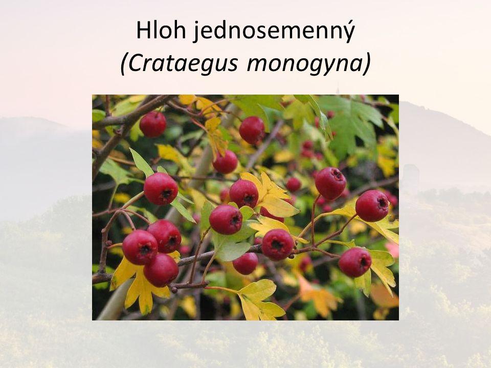 Hloh jednosemenný (Crataegus monogyna)