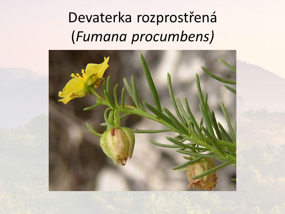 Devaterka rozprostřená (Fumana procumbens)