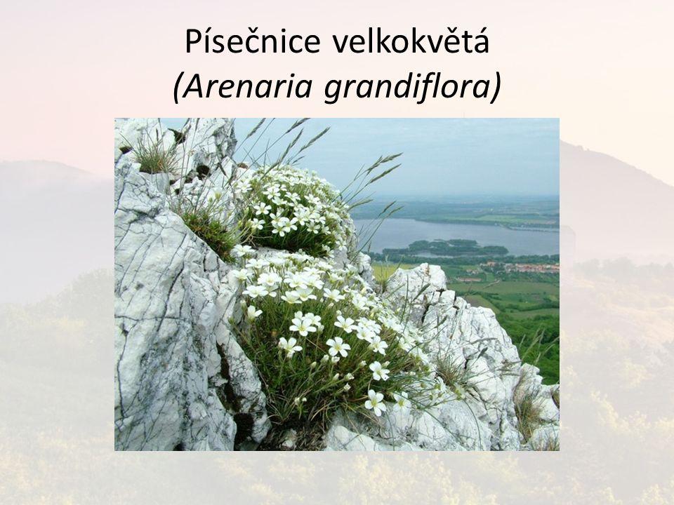 Písečnice velkokvětá (Arenaria grandiflora)