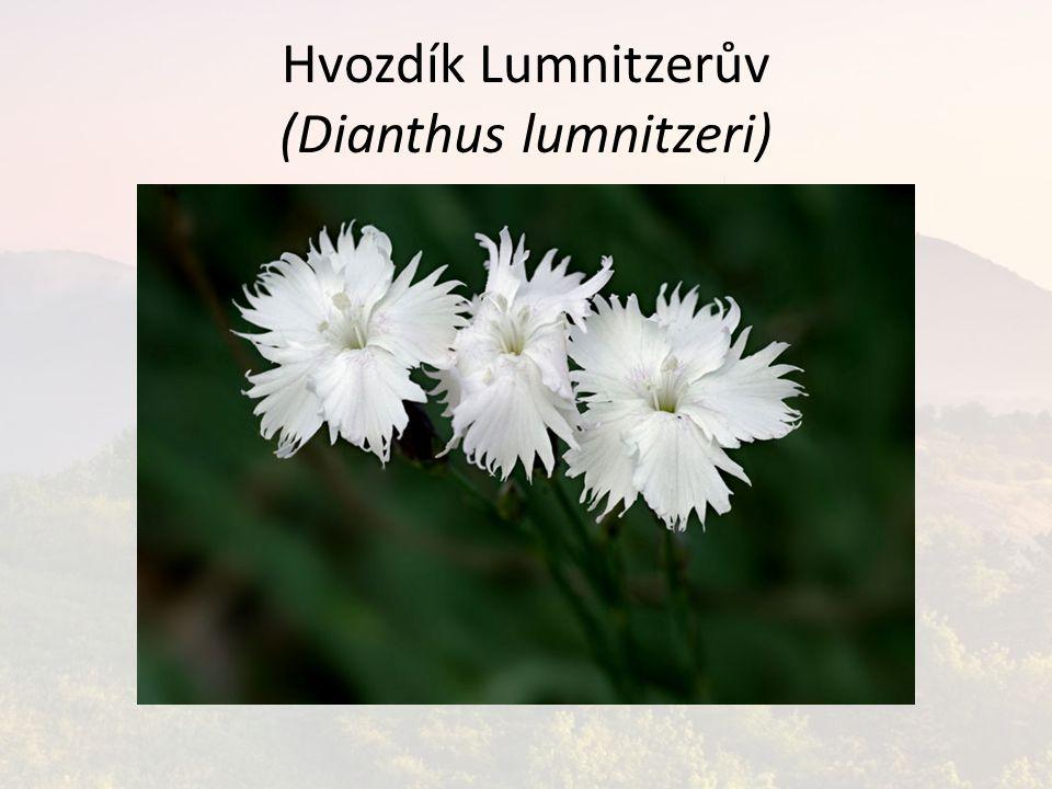 Hvozdík Lumnitzerův (Dianthus lumnitzeri)