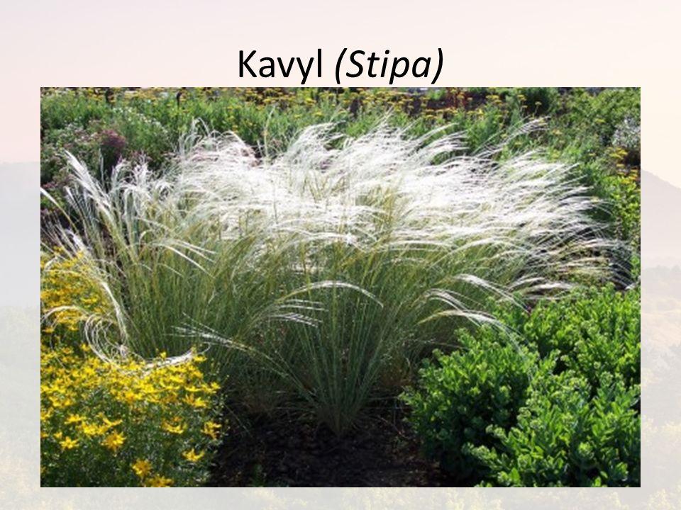 Kavyl (Stipa)