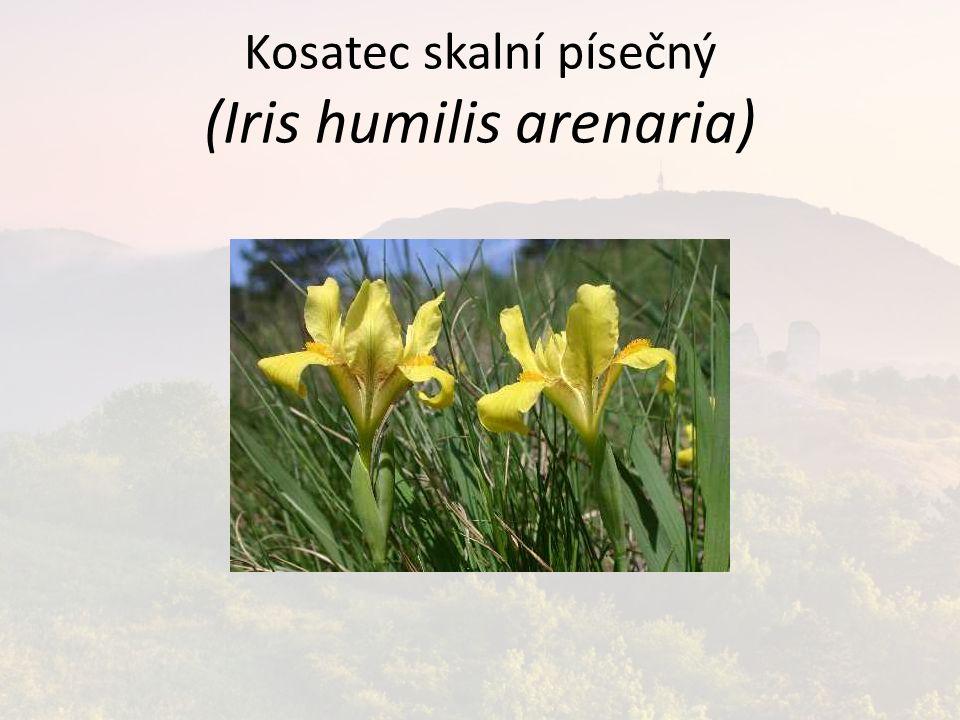 Kosatec skalní písečný (Iris humilis arenaria)