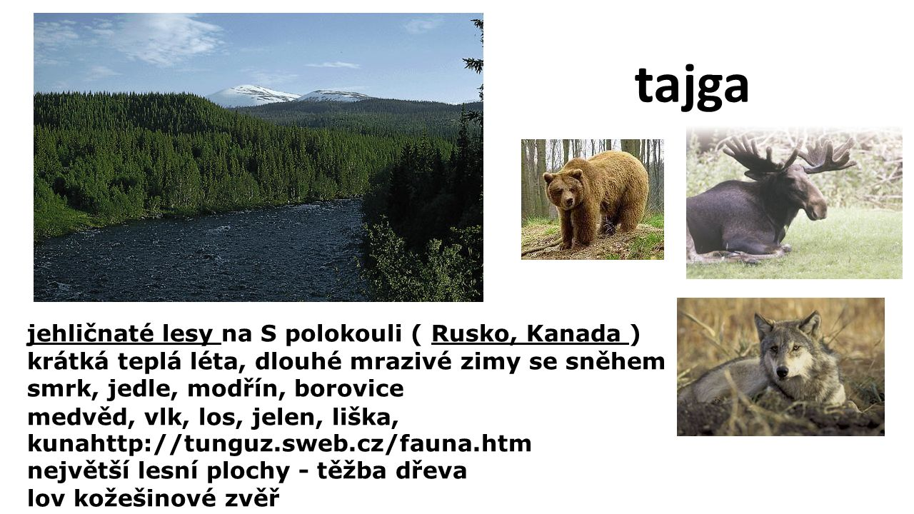 jehličnaté lesy na S polokouli ( Rusko, Kanada ) krátká teplá léta, dlouhé mrazivé zimy se sněhem smrk, jedle, modřín, borovice medvěd, vlk, los, jelen, liška, kunahttp://tunguz.sweb.cz/fauna.htm největší lesní plochy - těžba dřeva lov kožešinové zvěř tajga