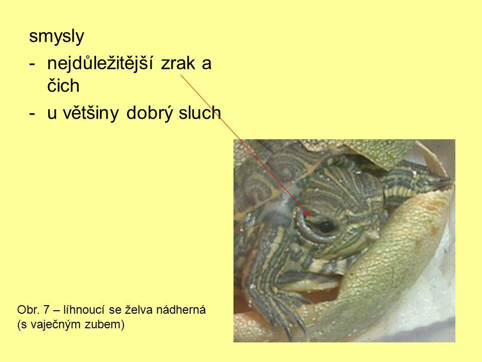 smysly -nejdůležitější zrak a čich -u většiny dobrý sluch Obr. 7 – líhnoucí se želva nádherná (s vaječným zubem)