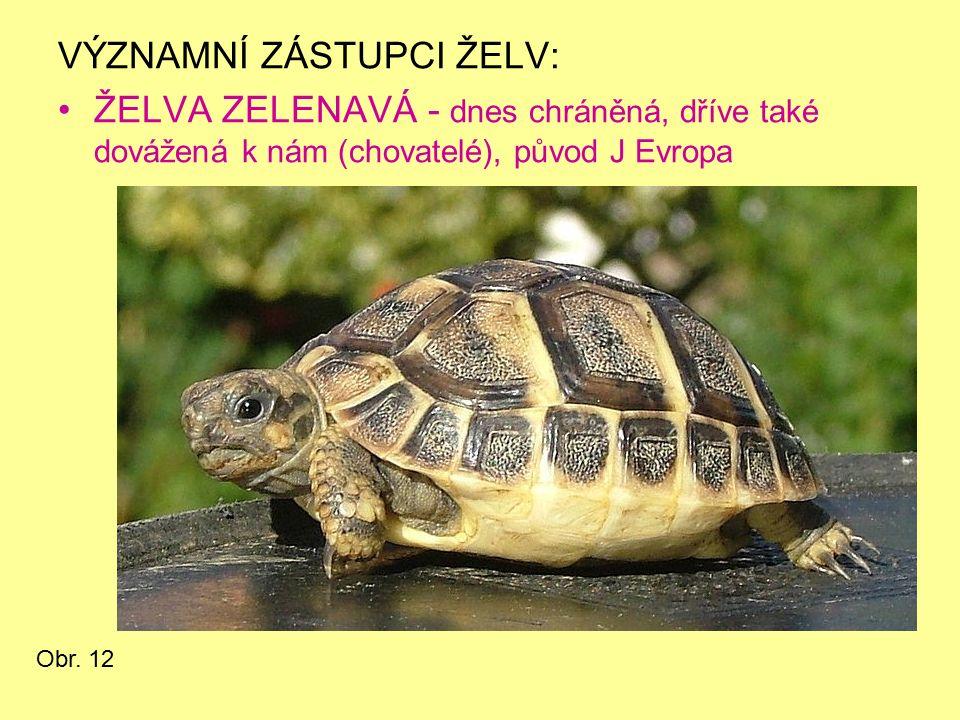 VÝZNAMNÍ ZÁSTUPCI ŽELV: ŽELVA ZELENAVÁ - dnes chráněná, dříve také dovážená k nám (chovatelé), původ J Evropa Obr. 12