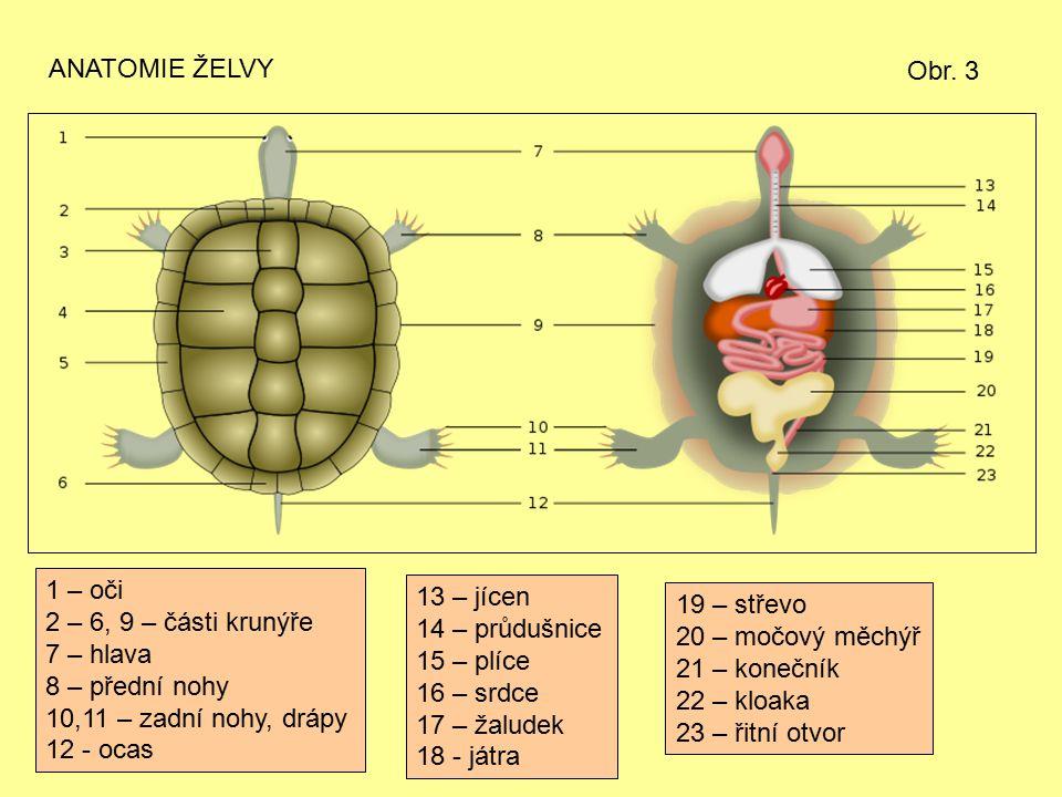 ANATOMIE ŽELVY 1 – oči 2 – 6, 9 – části krunýře 7 – hlava 8 – přední nohy 10,11 – zadní nohy, drápy 12 - ocas 13 – jícen 14 – průdušnice 15 – plíce 16