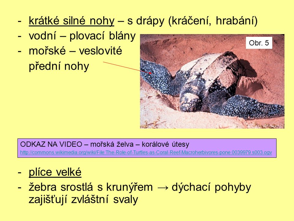 -krátké silné nohy – s drápy (kráčení, hrabání) -vodní – plovací blány -mořské – veslovité přední nohy -plíce velké -žebra srostlá s krunýřem → dýchací pohyby zajišťují zvláštní svaly ODKAZ NA VIDEO – mořská želva – korálové útesy http://commons.wikimedia.org/wiki/File:The-Role-of-Turtles-as-Coral-Reef-Macroherbivores-pone.0039979.s003.ogv Obr.