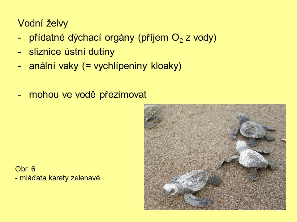 Vodní želvy -přídatné dýchací orgány (příjem O 2 z vody) -sliznice ústní dutiny -anální vaky (= vychlípeniny kloaky) -mohou ve vodě přezimovat Obr. 6