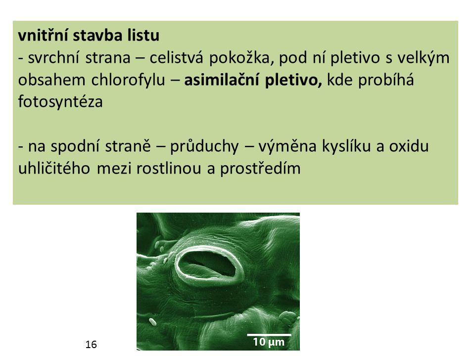 vnitřní stavba listu - svrchní strana – celistvá pokožka, pod ní pletivo s velkým obsahem chlorofylu – asimilační pletivo, kde probíhá fotosyntéza - na spodní straně – průduchy – výměna kyslíku a oxidu uhličitého mezi rostlinou a prostředím 16