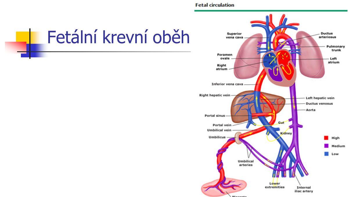 Fetální krevní oběh