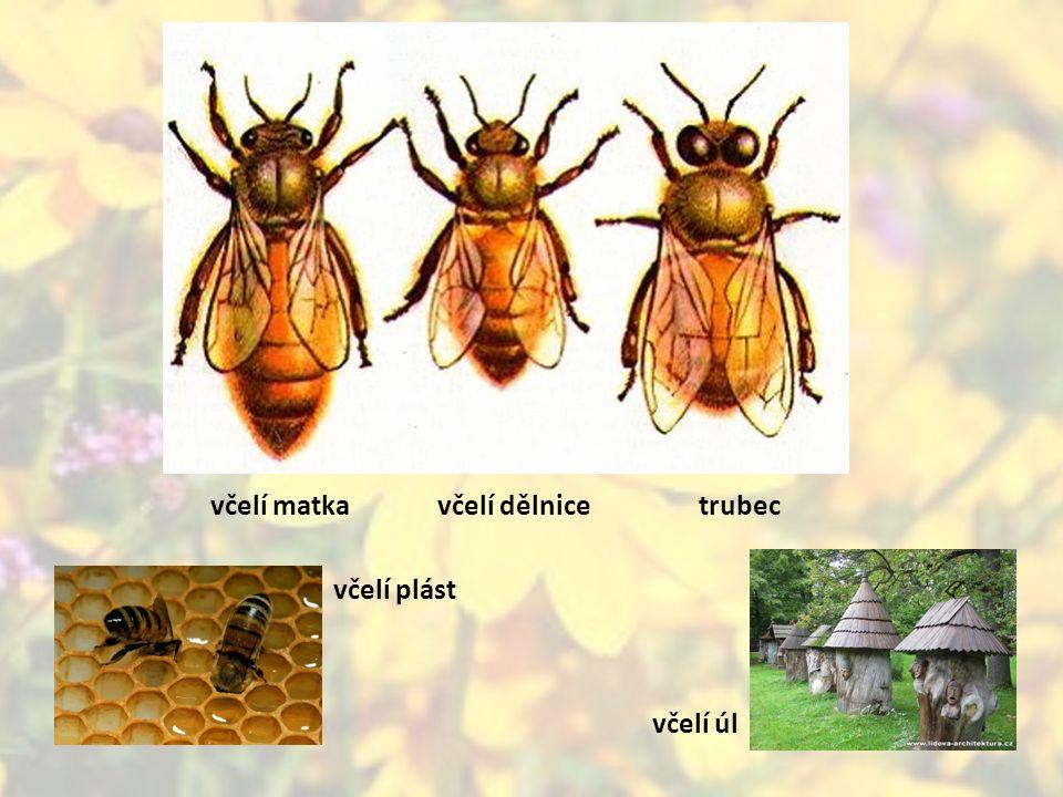 včelí matkavčelí dělnicetrubec včelí plást včelí úl