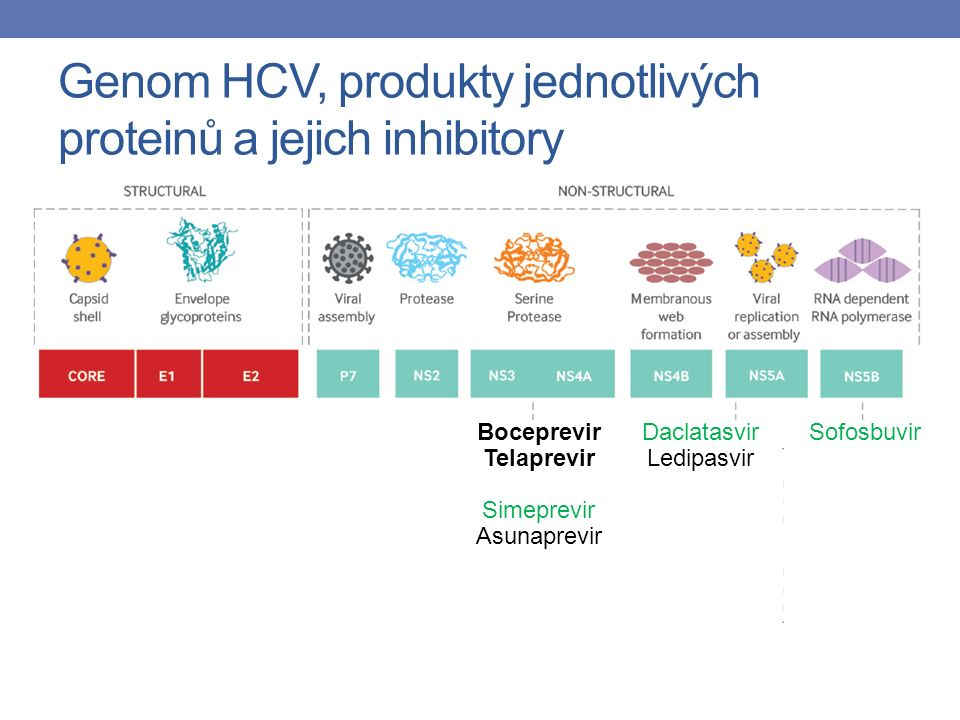 Genom HCV, produkty jednotlivých proteinů a jejich inhibitory Boceprevir Telaprevir Simeprevir Asunaprevir Daclatasvir Ledipasvir Sofosbuvir