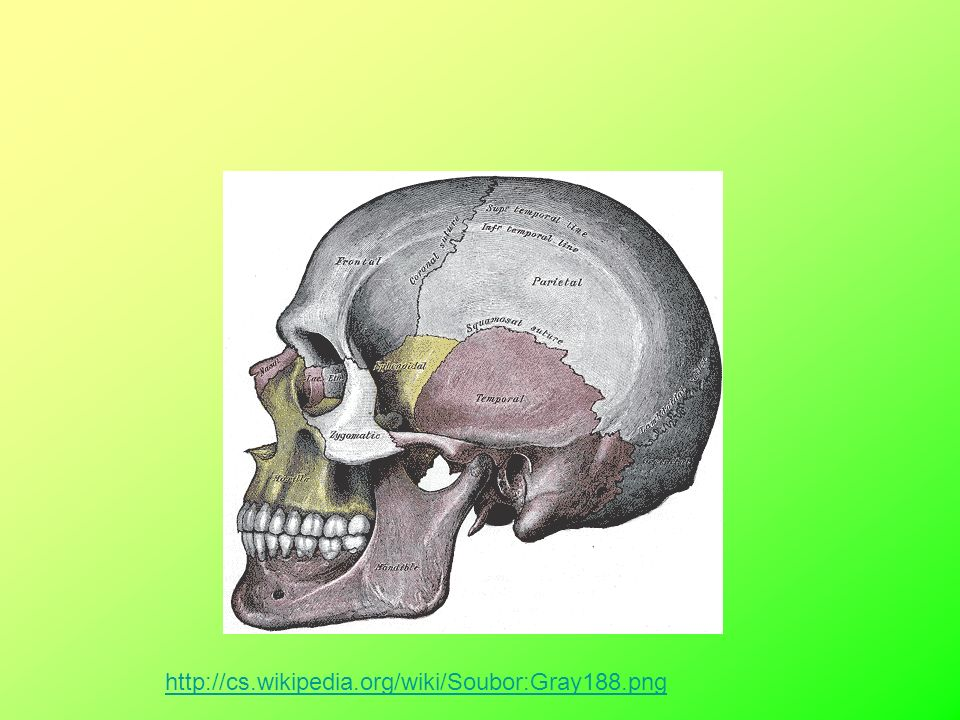 Lebka – pevná, pružná Zjistíme pohlaví, stáří, rasu a typové znaky