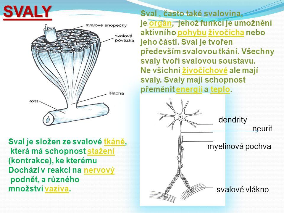 SVALY Sval, často také svalovina, je orgán, jehož funkcí je umožnění aktivního pohybu živočicha nebo jeho části.