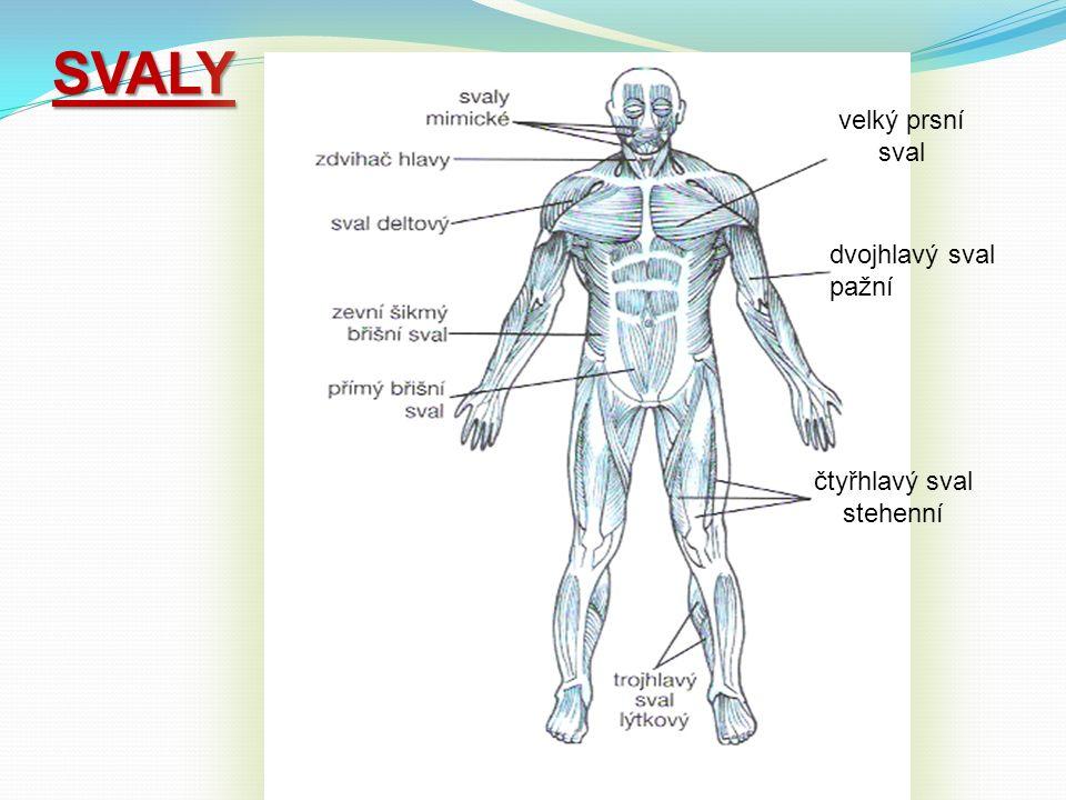 SVALY velký prsní sval dvojhlavý sval pažní čtyřhlavý sval stehenní