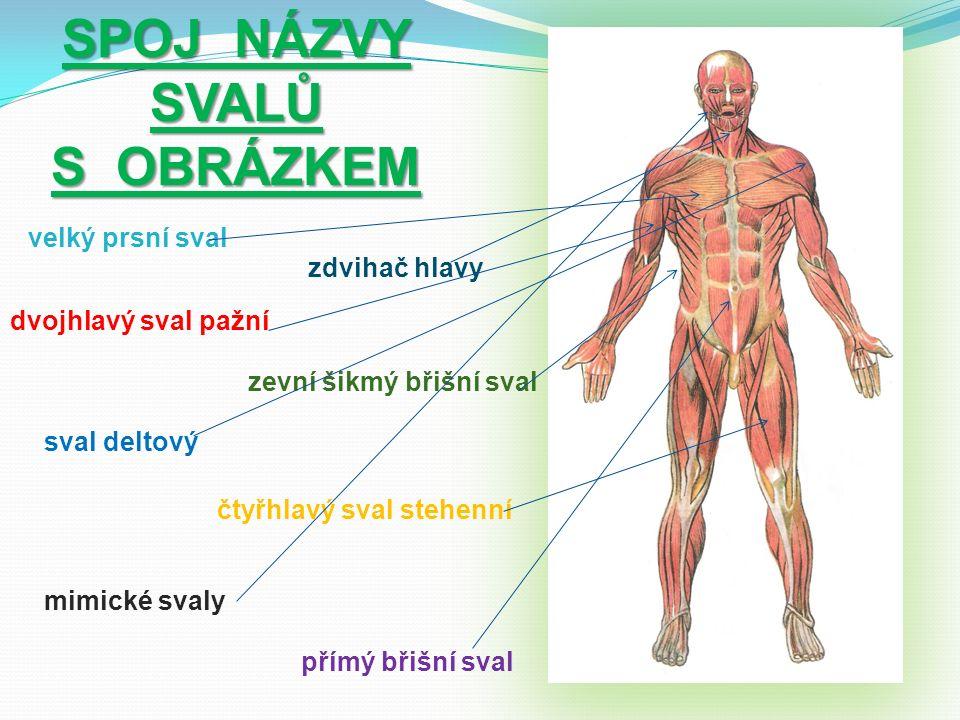 SPOJ NÁZVY SVALŮ S OBRÁZKEM velký prsní sval zdvihač hlavy dvojhlavý sval pažní zevní šikmý břišní sval sval deltový čtyřhlavý sval stehenní mimické svaly přímý břišní sval
